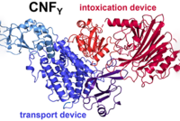 Chart of a toxic protein, cytotoxic necrotizing factor (CNF), that consists of a transport (blue) and intoxication device (red)