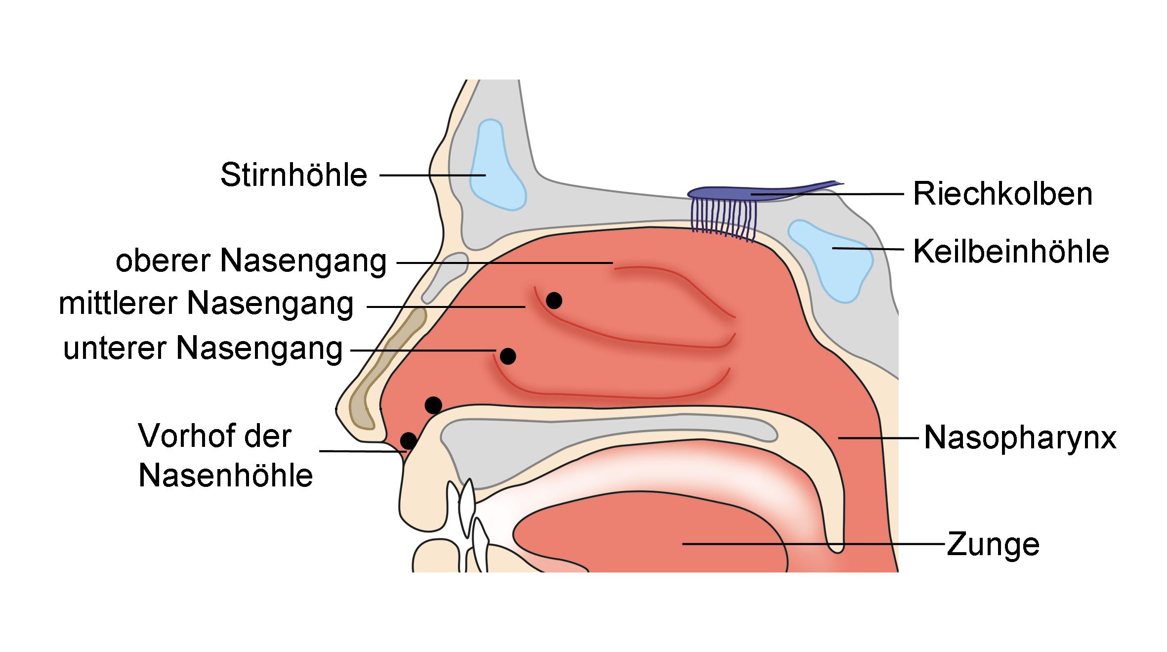 Ungewöhnlich Nasengang Bilder - Menschliche Anatomie Bilder ...
