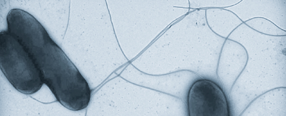 Salmonella © HZI / Rohde