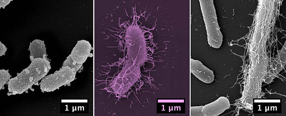 Scanning electron microscope images of the isolated Prevotella species from left to right: P. muris, P. rodentium, P. intestinalis © HZI / Manfred Rohde