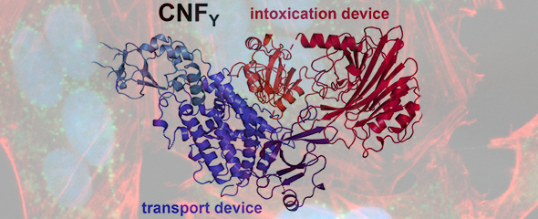 Yersinia pseudotuberculosis produces cytotoxic necrotizing factor (CNF), a toxic protein that consists of a transport (blue) and intoxication device (red). When given to susceptible host cells, CNF…